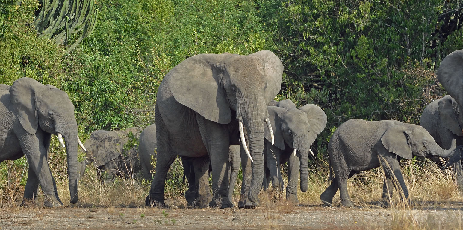 African Elephants - Uganda safaris
