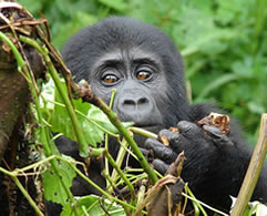Baby Gorilla in Bwindi National Park Uganda