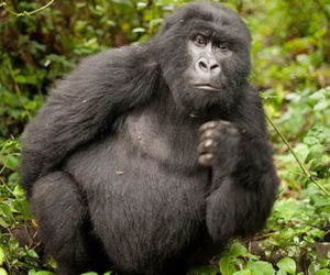 Gorilla safaris in Virunga National Park Congo