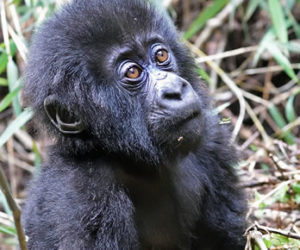 Baby Gorilla in Volcanoes National Park Rwanda