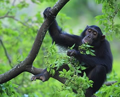 Chimps Tracking Uganda