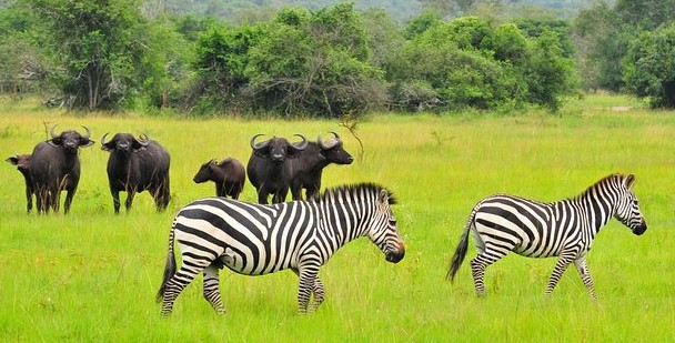 Uganda Wildlife Safaris