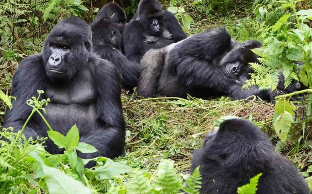 Mountain Gorillas in Mgahinga National Park