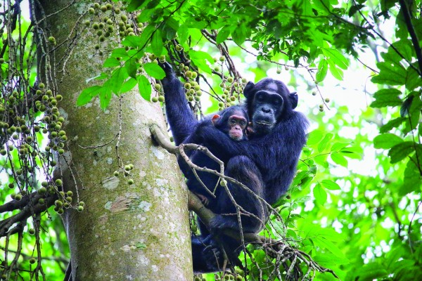 Chimpanzee Tracking Safari in Uganda